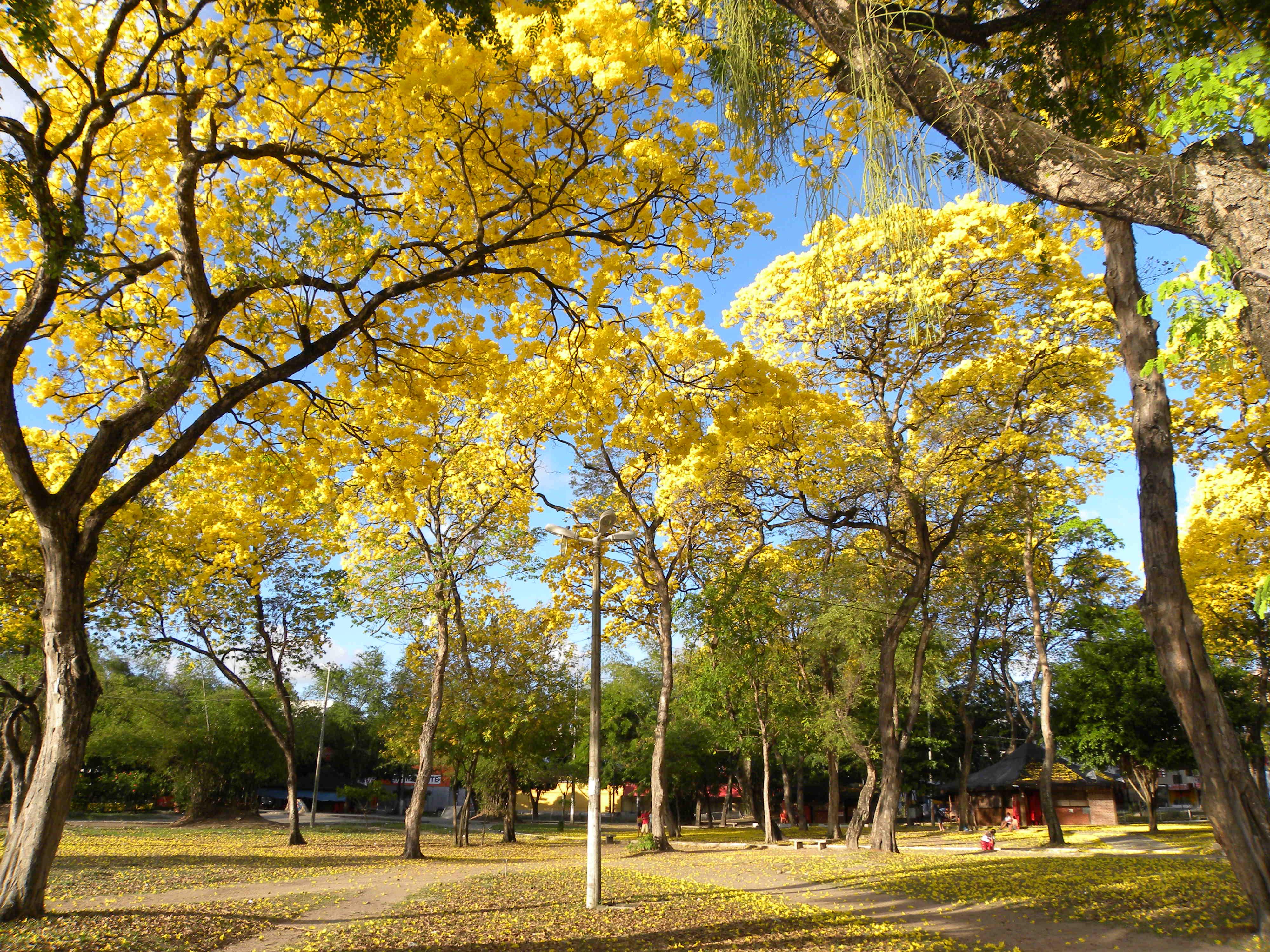 Ipês_amarelo_-_panoramio_(6)